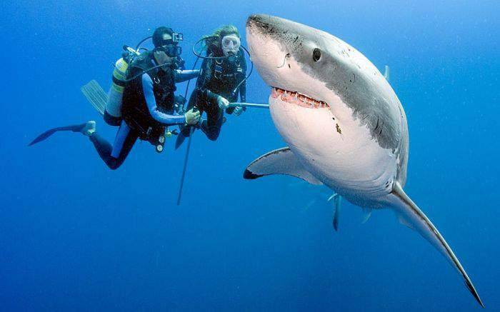 Рядом с ним белая акула и его самка